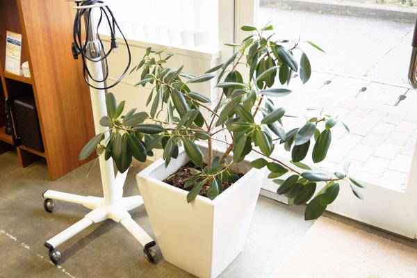 ゴムの木1