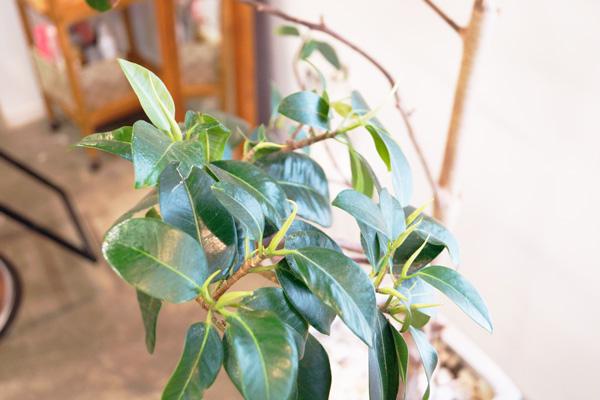 ゴムの木3